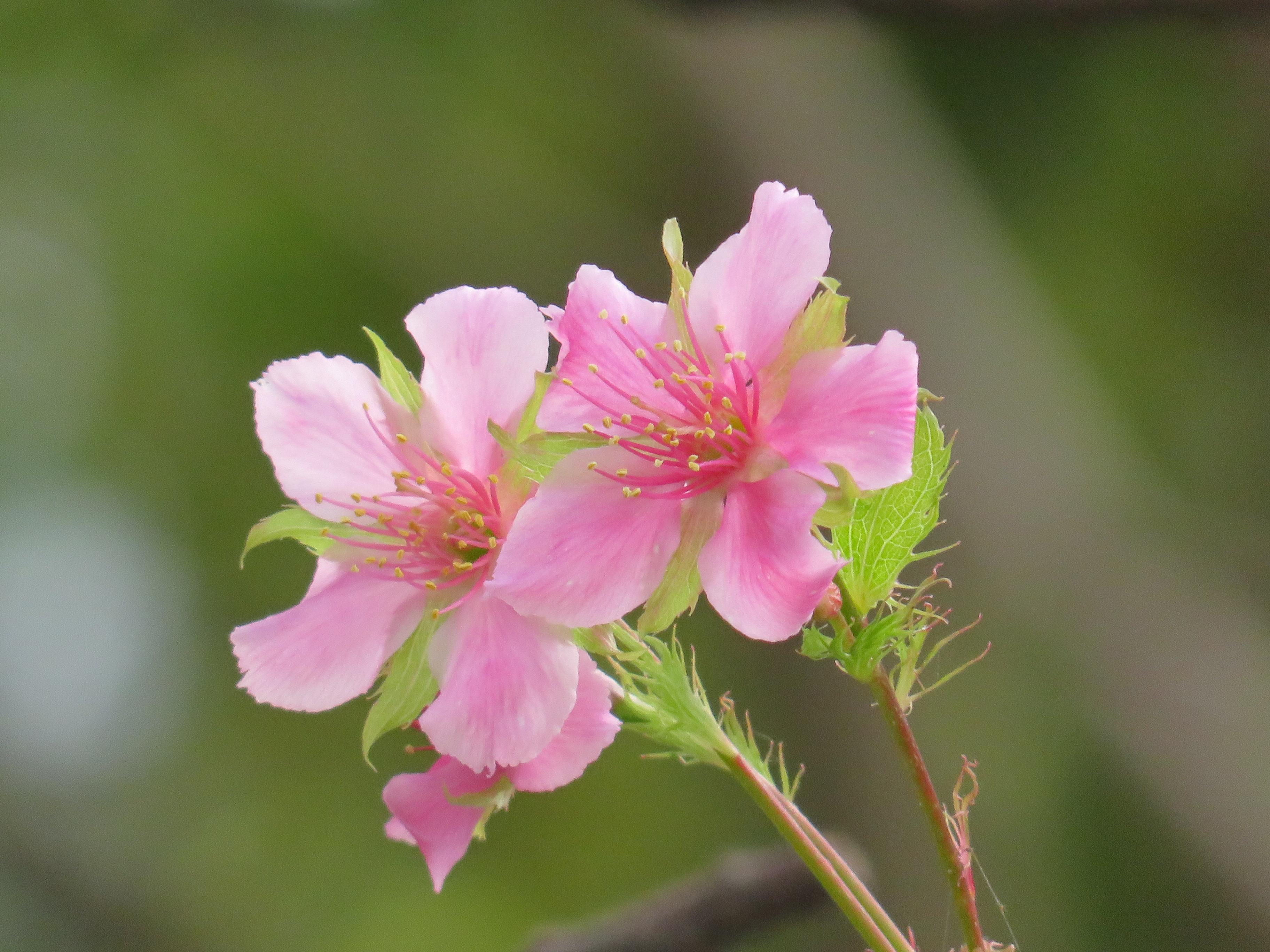 いろいろなところで桜が咲き始めていますよ